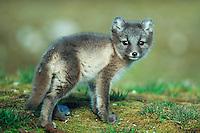 Arctic fox (Vulpes lagopus),  young, Svalbard, Norway, Arctic