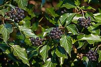 Efeu, Hedera helix, Common Ivy, English Evy, Lierre grimpant