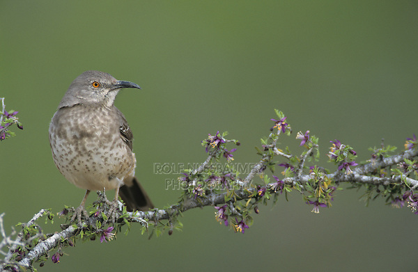 Curve-billed Thrasher, Toxostoma curvirostre,adult on blooming Guayacan (Guaiacum angustifolium), Starr County, Rio Grande Valley, Texas, USA