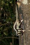Striped possum (Dactylopsila trivirgata) feeding on nectar from a tree trunk.