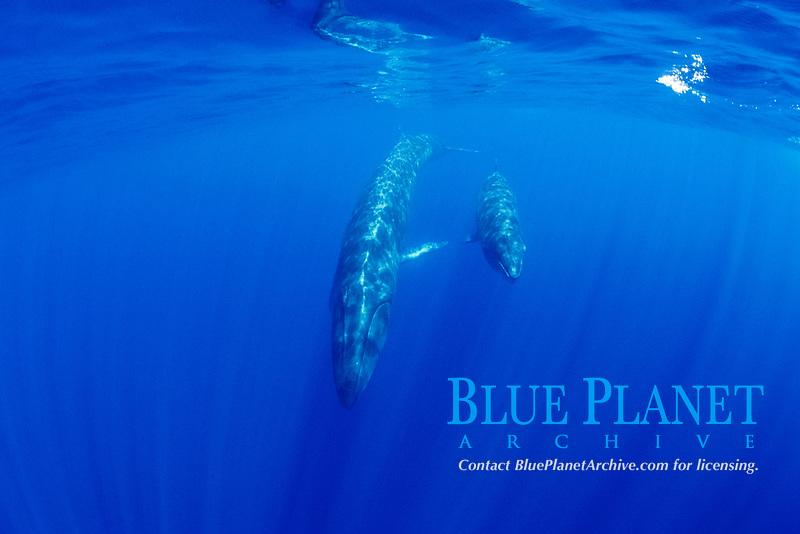 sei whale, Balaenoptera borealis, mother and calf, endangered species, Azores, Portugal, Atlantic Ocean