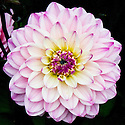 Dahlia 'Gallery La Tour', mid August. Awarded RHS AGM in 2009 and 2010.