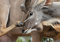 My favorite antelope. Kudu have awesome swirling horns, handsome markings, huge ears, and even a nice mane.