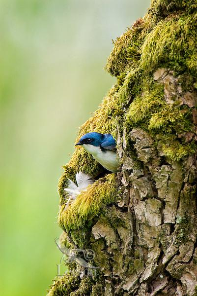 Tree swallow (Tachycineta bicolor) nest.  Pacific Northwest.  May..