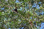 Red Howler Monkeys, Tiputini
