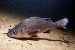 White Perch swimming left over sand bottom
