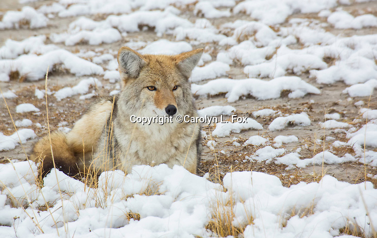 A coyote hangs out in a meadow in Yellowstone national Park