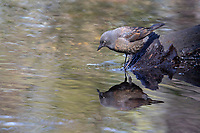 Rusty Blackbird (Euphagus carolinus carolinus), a spring migrant female molting from winter to breeding plumage foraging in The Gill, Central Park, New York City, New York.