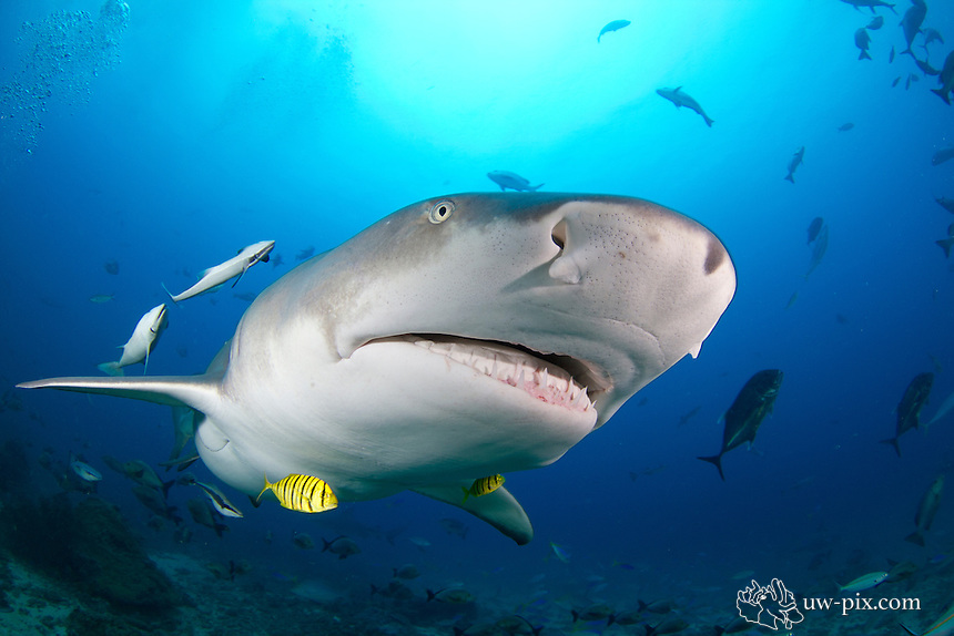 The sicklefin lemon shark or sharptooth lemon shark (Negaprion acutidens) is a species of requiem shark, family Carcharhinidae, widely distributed in the tropical waters of the Indo-Pacific. It is closely related to the better-known lemon shark (N. brevirostris) of the Americas; the two species are almost identical in appearance, both being stout-bodied sharks with broad heads, two dorsal fins of nearly equal size, and a plain yellow-tinged coloration. As its common name suggests, the sicklefin lemon shark differs from its American counterpart in having more falcate (sickle-shaped) fins. This large species grows up to 3.8 m long. It generally inhabits water less than 90 m deep in a variety of habitats, from mangrove estuaries to coral reefs.<br /> A slow-moving predator feeding mainly on bony fishes, the sicklefin lemon shark seldom travels long distances and many individuals can be found year-round at certain locations. Like other members of its family, this species is viviparous with females giving birth to no more than 13 pups every other year, following a gestation period of 10–11 months. Although they are potentially dangerous to humans and known to respond vigorously to any provocation, under normal circumstances sicklefin lemon sharks are cautious and tend to retreat if approached. The International Union for Conservation of Nature (IUCN) has assessed this species as Vulnerable; its low reproductive productivity and rate of movement limits the capacity of depleted stocks to recover. Off India and Southeast Asia, this species has been severely depleted or extirpated by unregulated exploitation for its meat, fins, and liver oil.