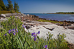 Wild iris in the Petit Manan Unit, Maine Coastal Islands National Wildlife Refuge, Steuben, ME, USA
