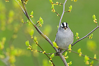 White-crowned Sparrow (Zonotrichia leucophrys). Spring. Great Lakes region.