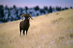 Portrait of a bighorn sheep in the Wind River Range, Wyoming.