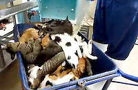 "Catss are dumped after being gassed in a ""dreambox"" in a hokenjo or animal collection and health center.  Japan kills over 200,000 cats and dogs annually by gassing them with carbon dioxide...photo by  / Sinopix............"