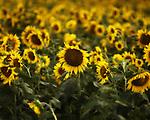 Sunflower field near Clarksdale, Miss. on July 13, 2001.
