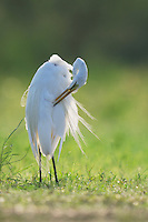Great Egret (Ardea alba), adult preening, Dinero, Lake Corpus Christi, South Texas, USA
