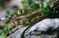 Scheltopusik, Panzerschleiche, Jungtier, Pseudopus apodus, Ophisaurus apodus, European glass lizard, armored glass lizard, Schleichen, Schleiche, Anguidae