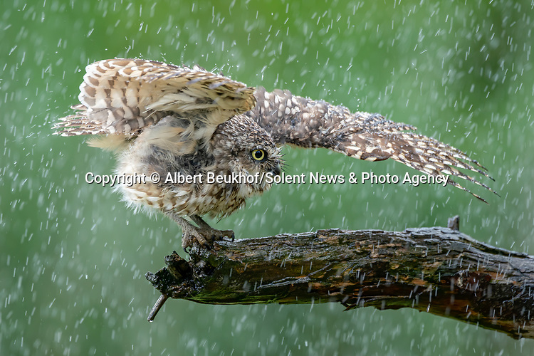 """Pictured: A young owl spreads its wings to cool off during a shower on a hot day, and even catches raindrops in its beak.   The burrowing owl can be seen enjoying the rain falling on its feathers.<br /> <br /> The bird, thought to be two years old, opened its beak wide to catch droplets as it perched on a tree near Diessen, Holland.   Photographer Albert Beukhof, a 44 year old architect from Arnhem in Holland, said: """"The burrowing owls love it when it rains on a warm day.   SEE OUR COPY FOR DETAILS<br /> <br /> Please byline: Albert Beukhof/Solent News<br /> <br /> © Albert Beukhof/Solent News & Photo Agency<br /> UK +44 (0) 2380 458800"""