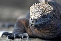 Marine Iguana (Amblyrhynchus cristatus) on rock, close-up - Ecuador, Galapagos Archipelago, Isabela Island.