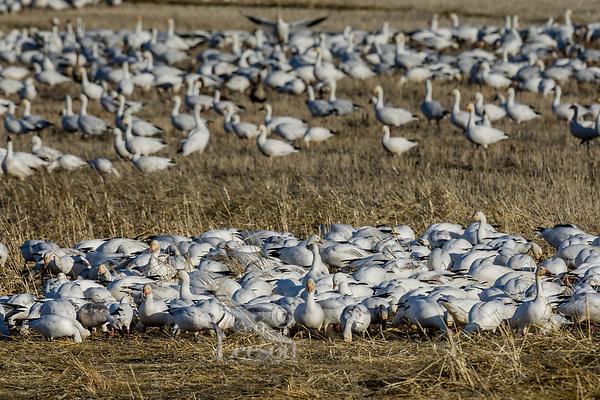 Snow Geese (Chen caerulescens) feeding, Lower Klamath NWR, Oregon/California.  Feb-March.