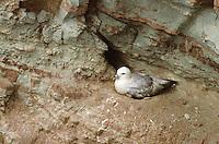 Eissturmvogel, brütend auf Nest in Steilwand eines Vogelfelsen, Eis-Sturmvogel, Fulmarus glacialis, fulmar