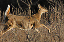 00275-196.04 White-tailed Deer (DIGITAL) doe is bounding with tail raised  through meadow during fall.  Action, run, leap, hunting.  H7R1