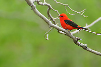 Adult male Scarlet Tanager (Piranga olivacea). Tompkins County, New York. May.