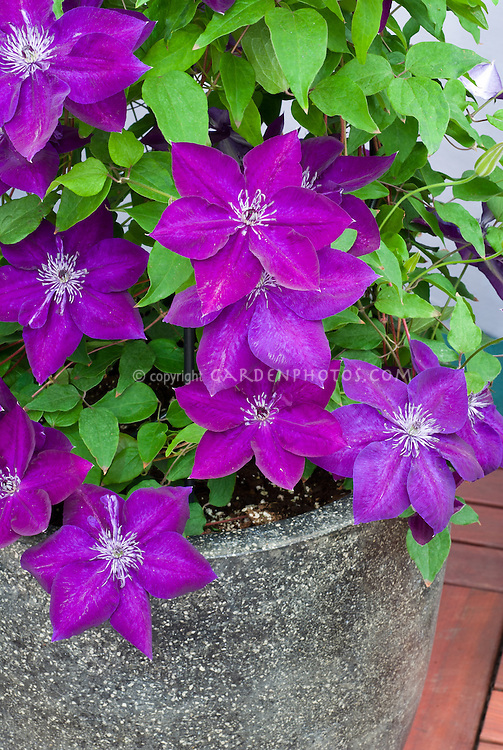 Clematis Amethyst Beauty, climbing perennial vine in purple colors