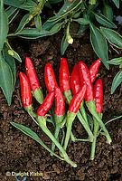 HS41-018a  Pepper - hot pepper, Rooster Spur
