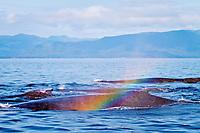 Humpback whale, Megaptera novaeangliae, blow, Chatham Strait, Alaska, Pacific Ocean