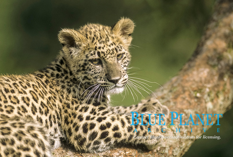 Persian Leopard, Panthera pardus tulliana (formerly Panthera pardus saxicolor), hand-raised 4 month old cub on branch, endangered species