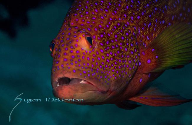 Strawberry Grouper, Cephalopholis spiloparaea, Anilao, Philippines