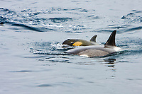 orcas or killer whales, Orcinus orca, mother and newborn calf - yellowish eye patch and fetal folds, traveling beside its mother in the echelon position, Gerlache Strait on the western side of the Antarctic Peninsula, Antarctica, Type B Orca, Orcinus nanus
