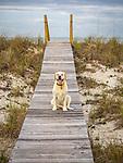 Golden labrador sitting on beach dune boardwalk.
