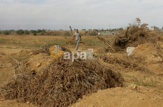 A Palestinian man pick up branches as the International Committee of the Red Cross (ICRC) assists Palestinian farmers to repair their fields that were devastated during the Israeli army summer's military offensive on the Gaza Strip on October 22, 2014, in Khan Yunis' Khuzaa neighbourhood in the southern Gaza Strip near the Israeli border. Photo by Abed Rahim Khatib