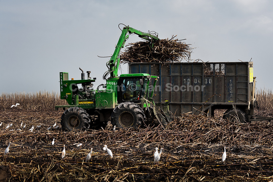 A harvester loads sugar cane into a trailer in a field near Florida, Valle del Cauca, Colombia, 30 May 2012. The Cauca River valley is the booming centre of agriculture and sugar cane cultivation in Colombia. Although the main part of the crop is still refined into a sugar, the global demand of biofuel and ethanol has intensified the sugar cane production in the last years. 85 percent of Colombia's cane crop is still harvested the manual way, employing approximately 30,000 workers. Working six days a week, under harsch labor conditions, the sugar cane cutters earn $4 for every ton of cane they cut, with no access to social benefits due to the tricky system of intermediary contractors and cooperatives.