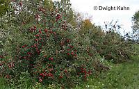 AT02-502z   Apples, Cortlands
