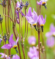 Primula jeffreyi aka Dodecatheon jeffreyi Jeffrey's Shooting Star, Sierra shooting star, California native wildflower