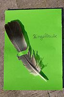 Federsammlung, Feder einer Ringeltaube, Columba palumbus, Wood Pigeon