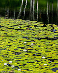 White water lilies in Harpswell, Maine, USA