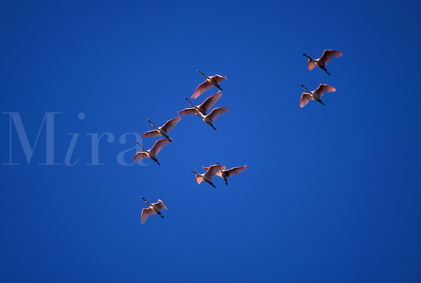 Roseate Spoonbills (Ajaia ajaja) in flight at Ding Darling National Wildlife Refuge, south Florida