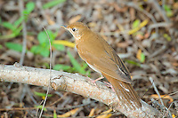Veery, South Texas