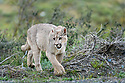 Young female puma (Puma concolor) (southern subspecies Puma concolor puma) (in N. America, cougar or mountain lion) walking on secluded hillside. Private ranch land (Estancia Amarga) on the outskirts of Torres del Paine National Park, Patagonia, Chile.