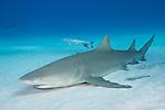 Tiger Beach, Grand Bahama Island, Bahamas; a lemon shark resting on the sandy bottom with several remora fish nearby