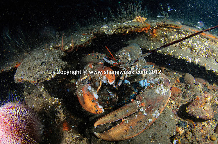 A huge old lobster guarding the wreck!
