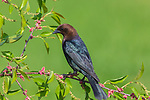 Male brown-headed cowbird perched in a choke cherry tree.