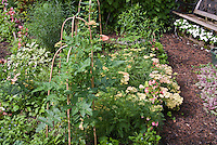 Achillea, Begonia flowers , tomato vegetables, Salvia sage herb with garden bench, impatiens in garden