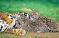 jaguar, Panthera onca, adult, female, mother, nursing cubs