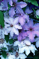 Clematis 'Blue Moon' (Evirin) & Clematis 'The First Lady' (top & right),. two different vines planted together