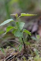 Hänge-Birke, Sand-Birke, Birke, Hängebirke, Jungpflanze, Betula pendula, European White Birch, Silver Birch