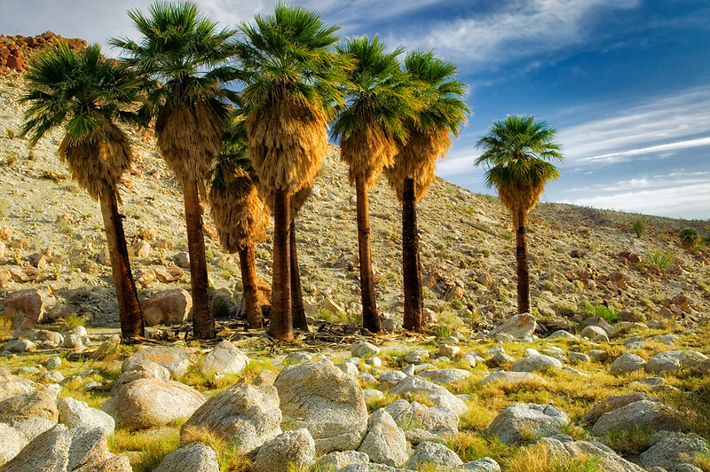Palm trees at Mountain Palm Springs. Anza Borrego Desert State Park, California